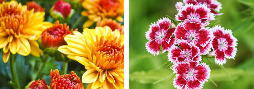 Position Mums, Chrysanthemums, Goldenrod flowers and more out on your porch or deck for perfect 2019 fall decoration ideas